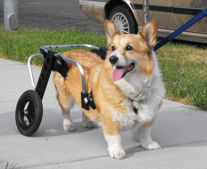 small dog wheelchairs