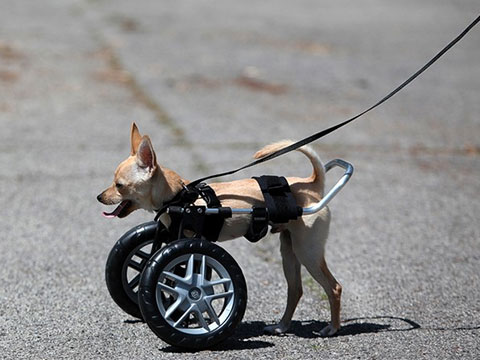 Extra Small Dog Wheelchair