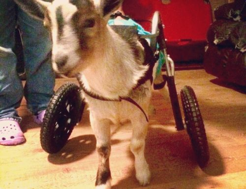 """""""Goatee"""" The Goat – Rear Support Wheelchair"""