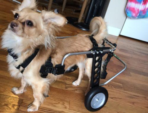 Taco-Chihuahua In Rear Wheel Wheelchair