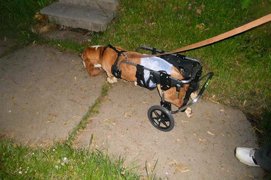 Basset Hound Wheelchair