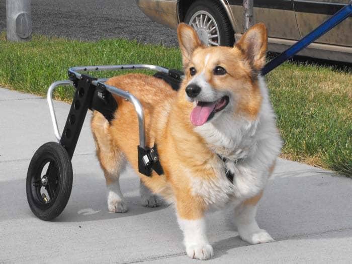 Corgi Wheelchair