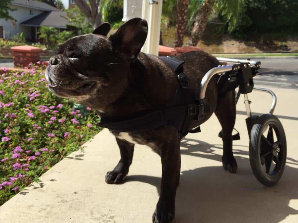 French Bulldog Wheelchair