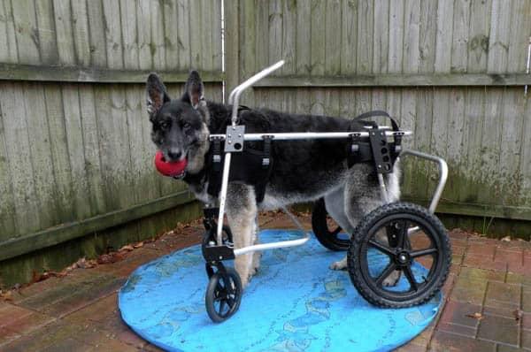 German Shepherd Wheelchair