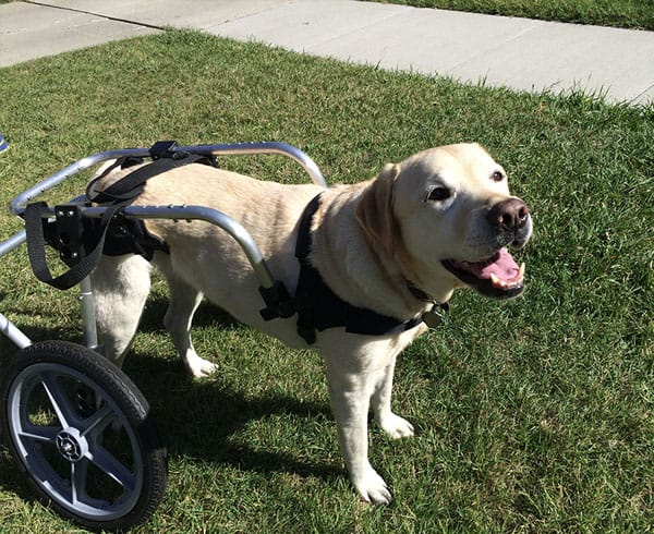 large dog wheelchairs