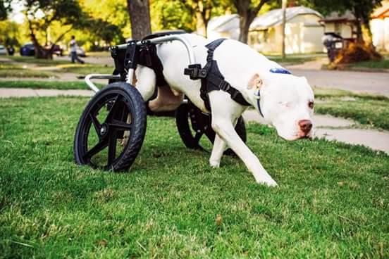 Pitbull Wheelchair