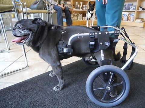 Pug Wheelchair