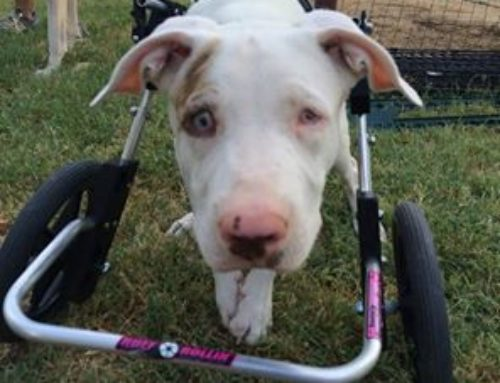 Doodles – Front Support Dog Wheelchair