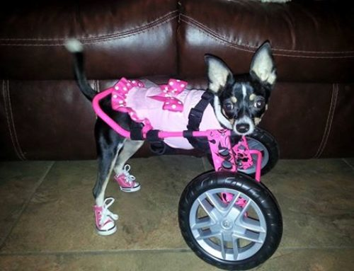 Cindy – Front Support Dog Wheelchair