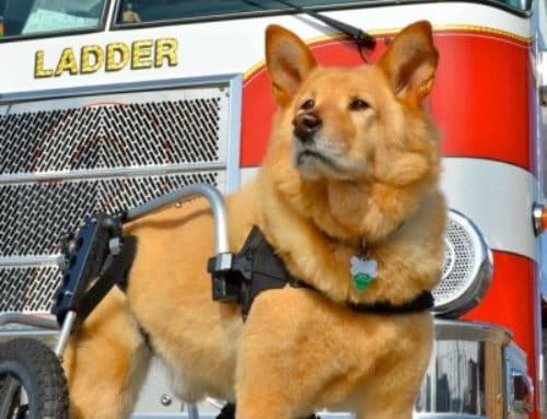 """Shilo"" Husky/Chow Mix – Rear Support Dog Wheels"