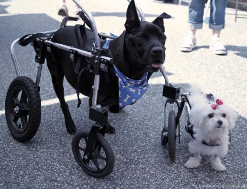 Chamberlin And Sookie Get New Dog Wheels