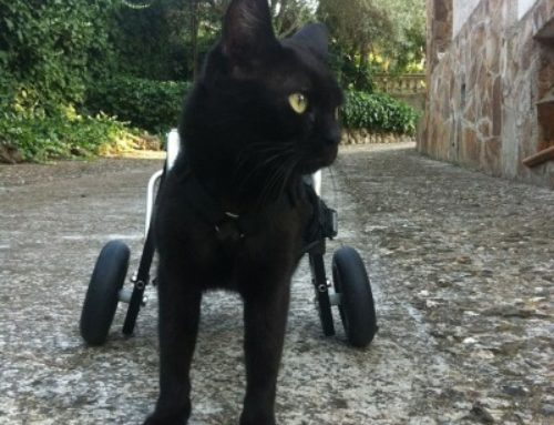Hada – Rear Support Cat Wheelchair