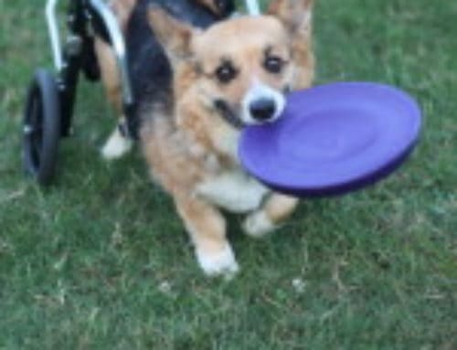 """Murphy"" Corgi – Doggie Wheelchair"
