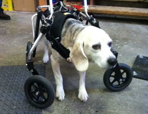 """Maggie"" Beagle Mix – Full Support Dog Wheelchair"