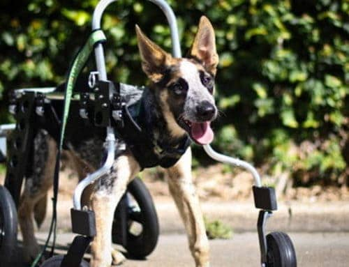 """Jack"" Cattle Dog Cross – Dog Wheelchair Full Support"