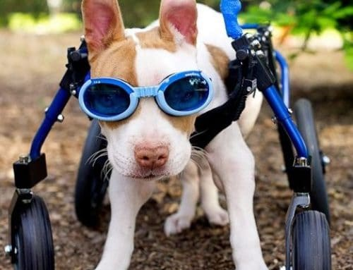 """Junior"" Pitbull – Full Support Dog Wheelchair"