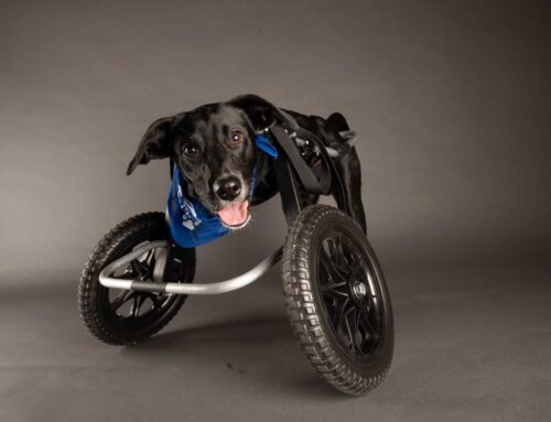 Jett Is Sporting A Ruff Rollin' Wheelchair In The 2021 Puppy Bowl